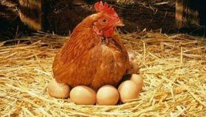 Tavuk yumurtası üretimi 1,6 milyar adet olarak gerçekleşti