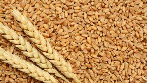 Türkiye, 250 bin ton ekmeklik buğday ithal edecek