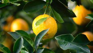 Finike'de üreticide portakal tükendi