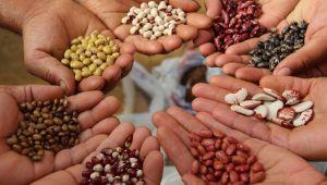 Tohumların yüzde 75'ine hibe
