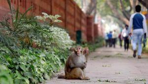 Sosyal mesafe maymunlarda da işe yarıyor!