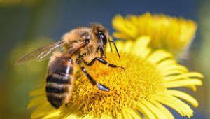 Kırıkkale'de yetiştirilen ana arılar ülke geneline satılabilecek