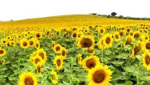 'Sarı gelinlik' giyen Adana'da 250 bin ton ayçiçeği rekoltesi bekleniyor