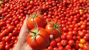 Sanayi domatesinde yüksek maliyet, düşük fiyat krizi