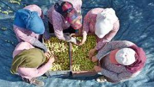 Hedef, sofralık zeytin ihracatında rekor tazelemek