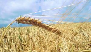 Sanayici de buğdayı elinde tutuyor, satmıyor!