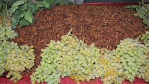 Türkiye, dünya kuru üzüm ihracatının yüzde 36'sını tek başına yapmayı hedefliyor