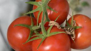 Jeotermal seralarda üretilen domatesler yurt dışına da gönderiliyor