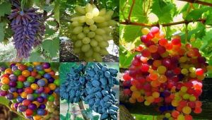 Türkiye'nin üzüm hazinesi koruma altında