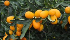 Türkiye'nin portakal ihracatı 'salgınla' yüzde 41 arttı