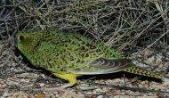 Nesli tükendiği sanılan kuş bulundu