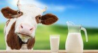 Ocak ayında 845 bin 191 ton inek sütü toplandı