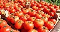 Rusya'dan 5 Türk şirkete domates ithalatı izni