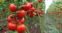 Rusya'nın domates kararı Antalya'da mutlulukla karşılandı