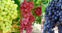 Rusya'ya 57 milyon dolarlık yaş üzüm ihracatı