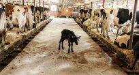 Süt endüstrisinin bilmenizi istemediği 10 önemli gerçek