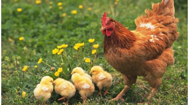 Üç Tavukla Başladı, Üç Bin Tavukluk Çiftlik Kurdu